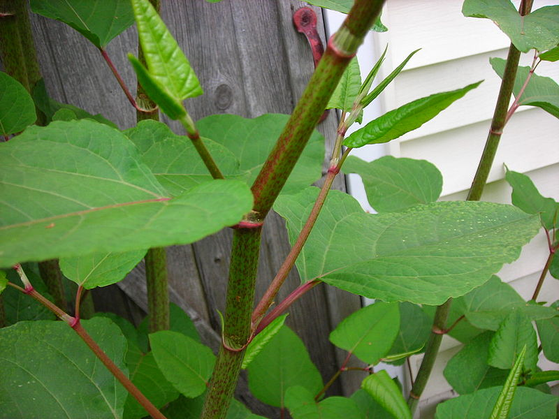 File:Japanese knotweed 800px-Knotweed.jpg