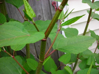 Japanese knotweed 800px-Knotweed.jpg