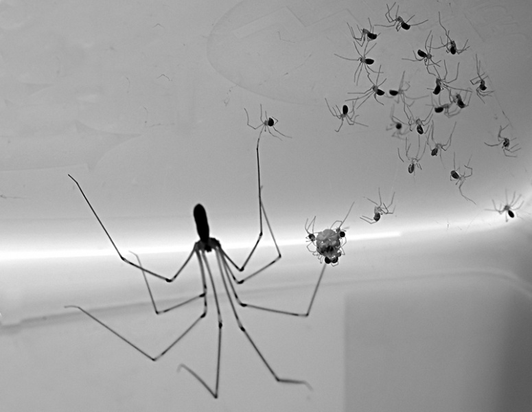 File:Pholcus phalangioides with Juveniles.jpg